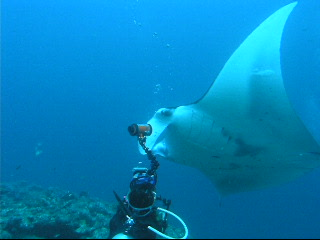 Bandos: Mantas at Lankan Point with diver