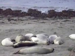 Elephant Seals close to San Simeon