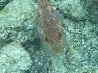 South Ari Atoll: cuttlefish Vakaru housereef