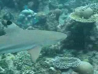 Black tip reef sharp