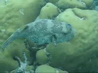 Zuid Ari Atoll: Scribbled pufferfish