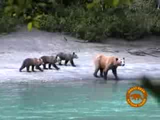 Βρετανική Κολούμπια, Καναδάς: Great Bear Lodge, grizzly bear viewing tours in British Columbia
