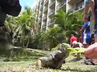Рио-Гранде, Пуэрто-Рико: Iguana Feeding at the Wyndham Rio Mar