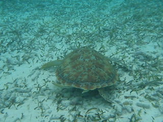 San Pedro, Belize: Turtle Time