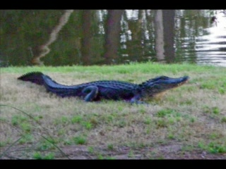 Spicebush at Sea Pines Resort: Ernie the Alligator