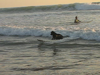 Santa Teresa, Costa Rica: Ella the famous surfing dog!