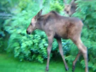 Alaska Sundance Retreat Bed and Breakfast, LLC: Moose Twins