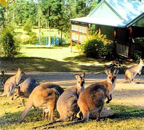 Wallabies and other variety of wildlife make Maleny Country Cottages their home.