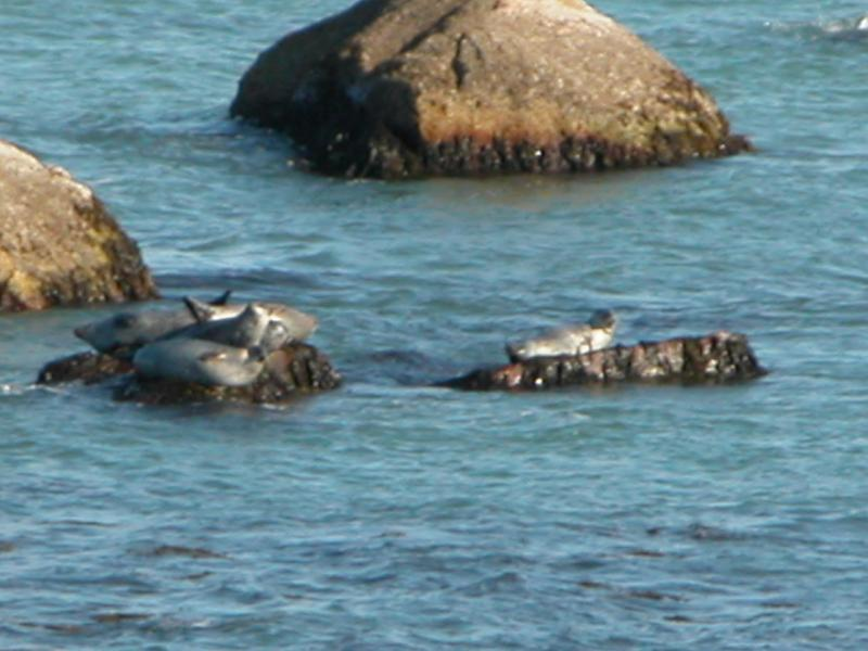 It's Fall!  The seals have come home to rest through the Winter