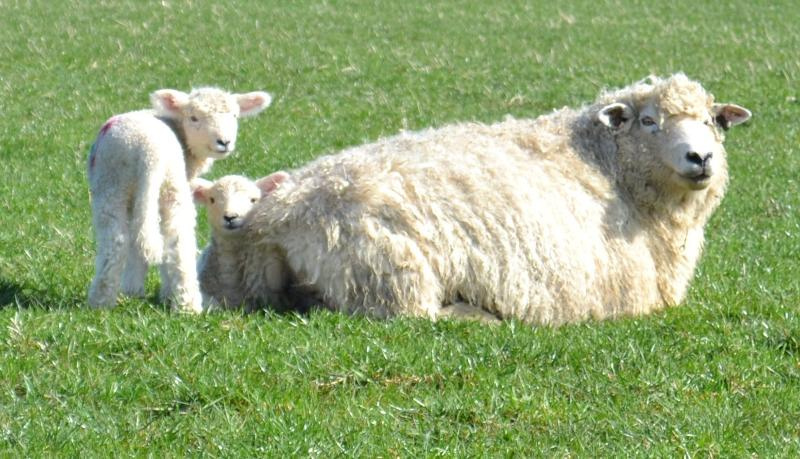 Romney sheep grazing at Lamb Farm
