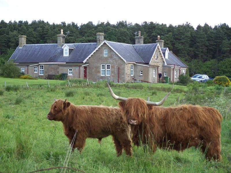 Highland cows outside cottages
