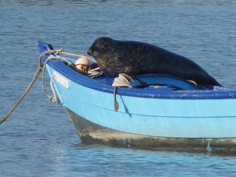 Josephine, our resident seal in the Rance River