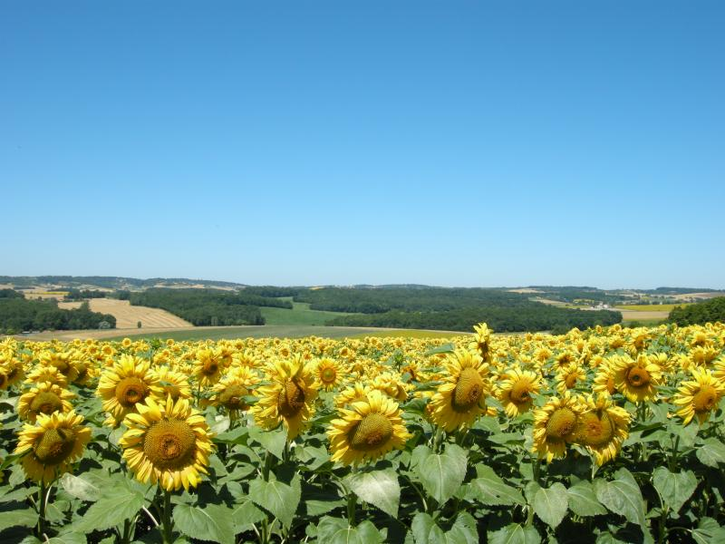 Sun flowers in full bloom at Villa Anglade