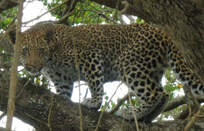 Leopard spotted en-route to Cape Vidal.