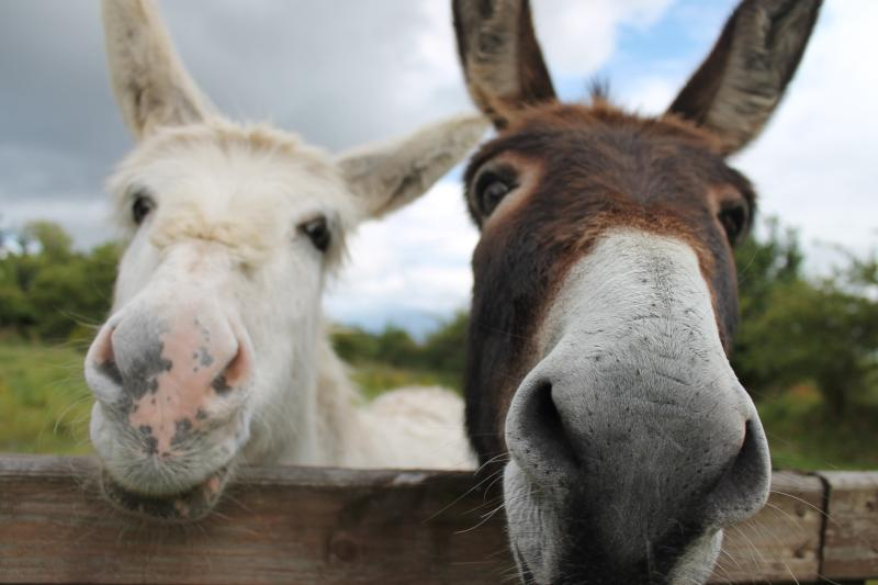 Part of the welcoming committee.. They are always on the look out for visitors and carrots!!