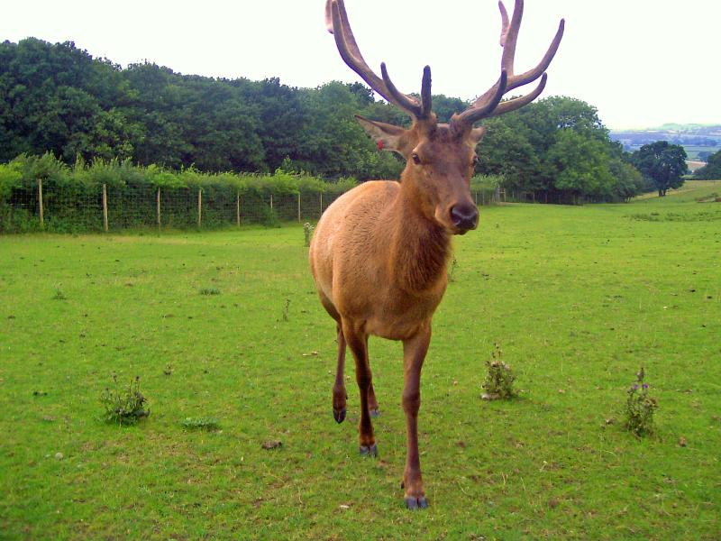 'Eric' the Stag