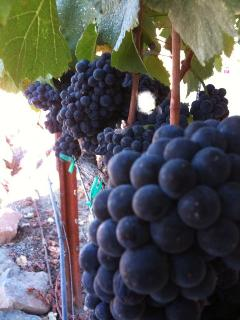 Pinot Noir Grapes from the small vineyard on the property