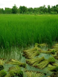 Our rice paddies