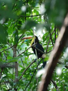 Toucan in one of our backyard trees. They visit almost daily.