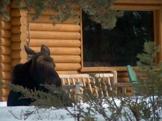 Moose Relaxing Under A Pine in Snow in Front of Our Cabin