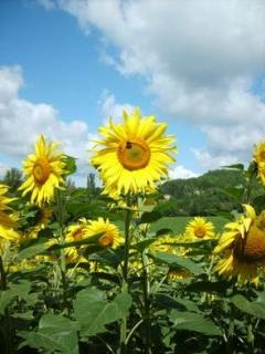 Fields of sunflowers appear in July