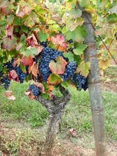 Grapes that make the famous black wine of Cahors