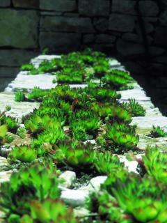 Stone wall in front of the house with green housekeepers