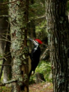 Walk the woods and see Pileated Woodpeckers