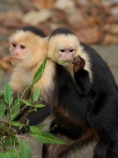 A pair of capuchins, one of the four types of monkeys commonly seen right from the house.