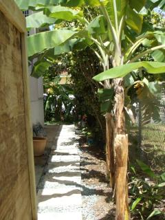 Pick bananas from the walkway around to backdeck and entrance.