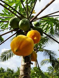 Starfish Cottage, papayas on tree for you!