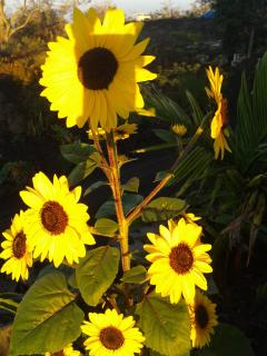 sunflowers by house