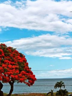 A colorful ocean view! Royal Poinciana!