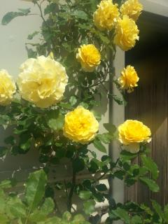 House Roses