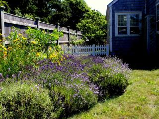 Lavender garden in the front yard