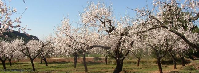 Beautiful almond blossom in the spring