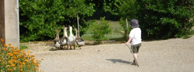 Children of all ages love herding the geese