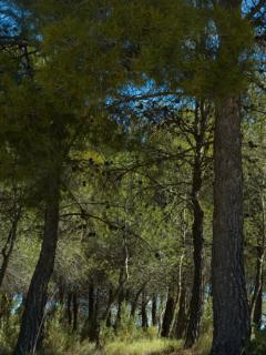 Our beautiful pine forest