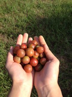 PLUM PICKING DURING THE SUMMER