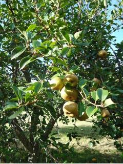 PEAR PICKING IN THE LATE SUMMER