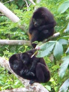 Howler Monkeys on the Lower Trail, Just Hanging Around