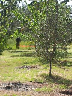 Olive with almond grove in springtime