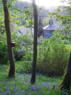 Our bluebell woods