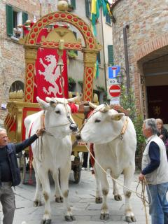The famous Chianina bulls - 28.000 kilos together