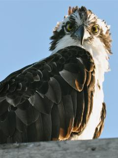 Osprey on roof
