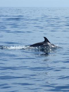 Dolphin just off Sagres coast - daily tours from the port