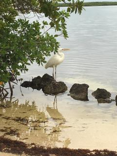 Our Mascot 'Shadow' a Great White Heron at our Beach