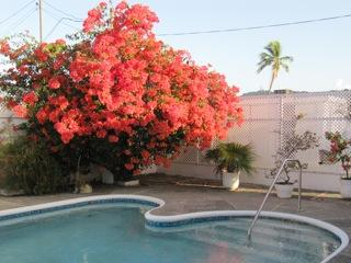 Stunning bougainvillea by the pool
