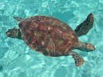 Green Sea Turtles Just Offshore
