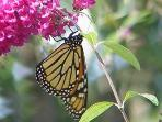 monarch butterflies migrating through in September